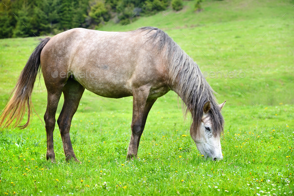 Grey horse grazing in summer pasture - Stock Photo - Images