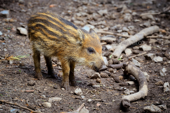 wild boar baby is looking around - Stock Photo - Images