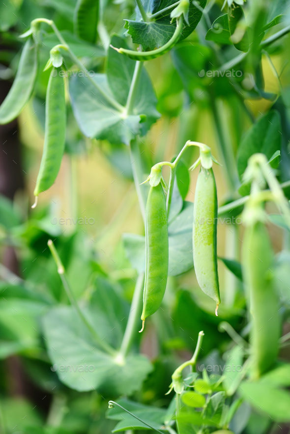 The green peas in the vegetable garden - Stock Photo - Images