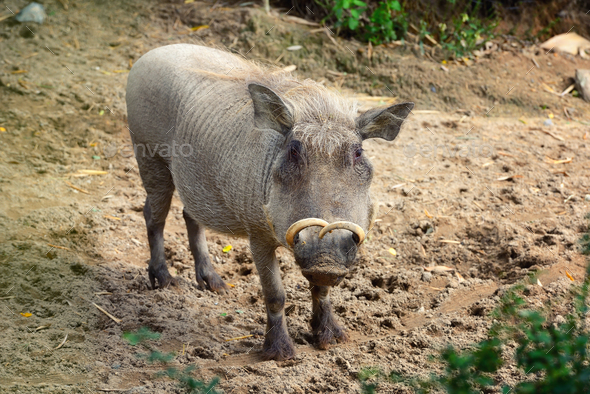Common warthog (Phacochoerus africanus). Front view - Stock Photo - Images