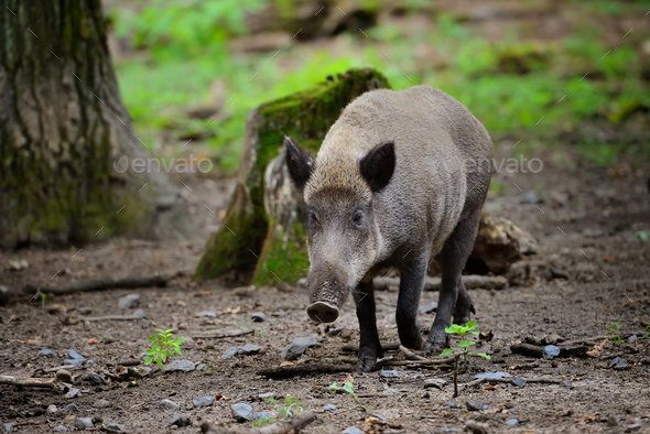 Wild boar piglet - young wild boar runs by the wood - Stock Photo - Images