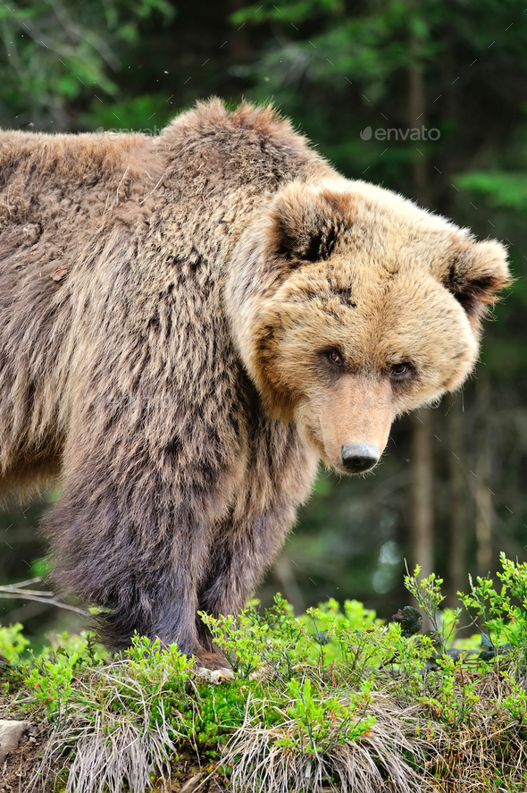 European brown bear in a forest landscape at summer. Big brown b - Stock Photo - Images