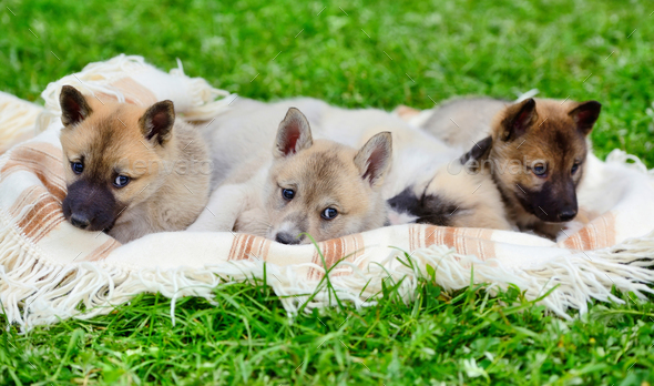 Cute Siberian Laika puppies on the blanket - Stock Photo - Images