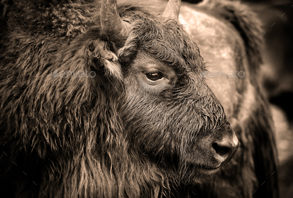 Portrait of European bison (Bison bonasus). Wisent. - Stock Photo - Images