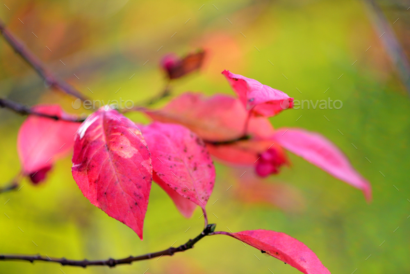 Beautiful autumn background is with the sprig of spindle tree (E - Stock Photo - Images