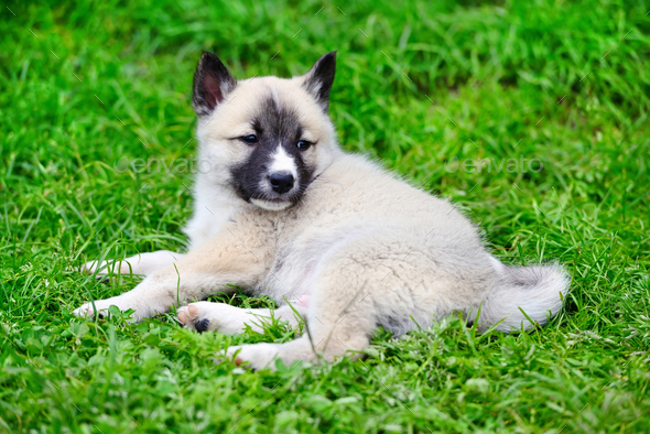 A beautiful Siberian Laika puppy lying down on the grass - Stock Photo - Images