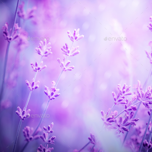 Lavender Flower Field Image For Natural Background Selective F Stock Photo By Nataljusja Download 237 lavender background free vectors. https photodune net item lavender flower field image for natural background selective f 21198800