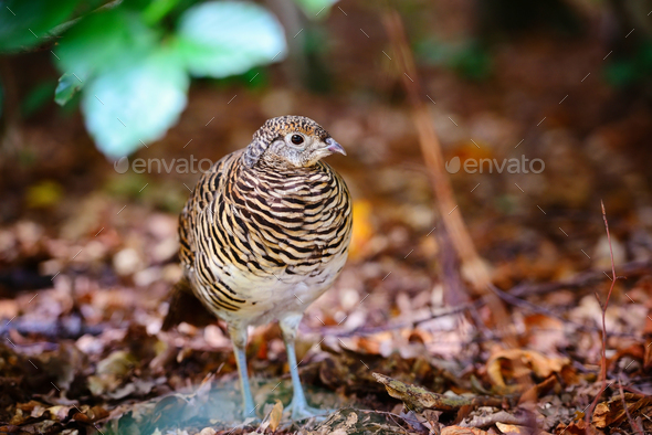 Quail. Common quail in the autumn forest - Stock Photo - Images