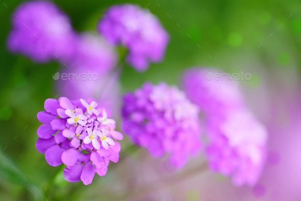 Small purple flowers Iberis umbellate in summer in a garden - Stock Photo - Images