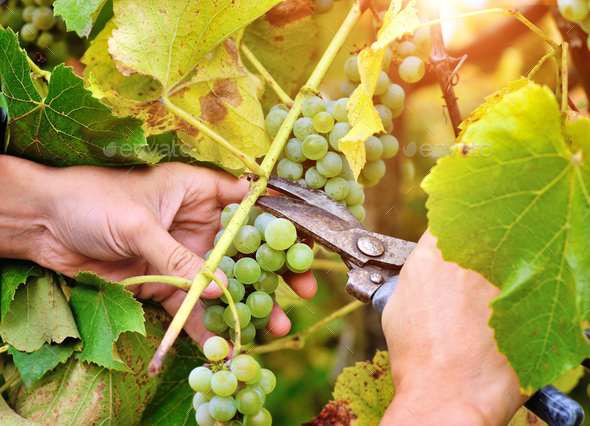 Farmers hands holding and cutting white grape from the vines dur - Stock Photo - Images