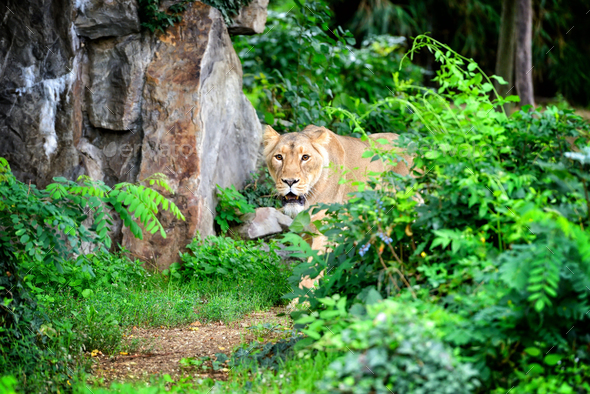 Lioness (Panthera leo) walking though grass while hunting for fo - Stock Photo - Images