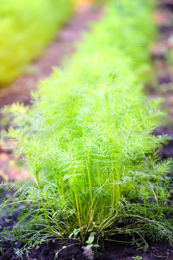 Dill growing in garden - Stock Photo - Images