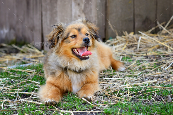 The lovely dog lies in the yard. Fluffy redhead mongrel. - Stock Photo - Images