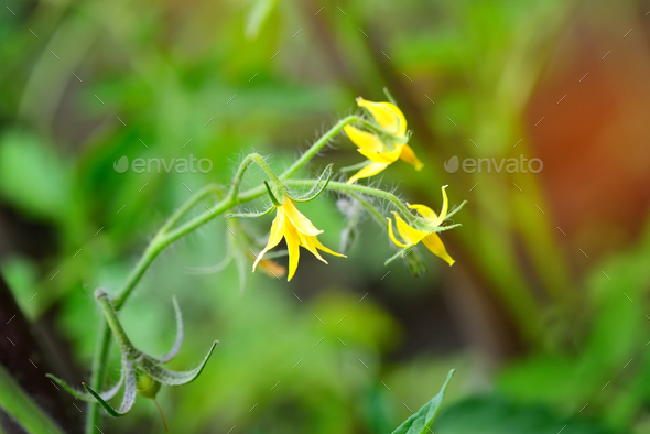Bright yellow flowers of tomatoes over blurry background - Stock Photo - Images