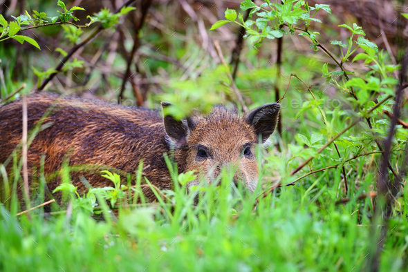 Young wild boar in grass, before a forest - Stock Photo - Images