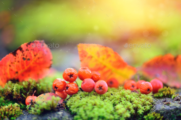 Rowan berries with autumn leaves on green moss. Autumn backgroun - Stock Photo - Images