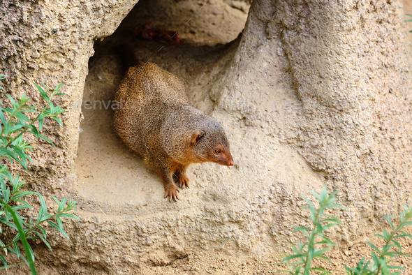 Common dwarf mongoose (Helogale parvula) sits near the burrow - Stock Photo - Images