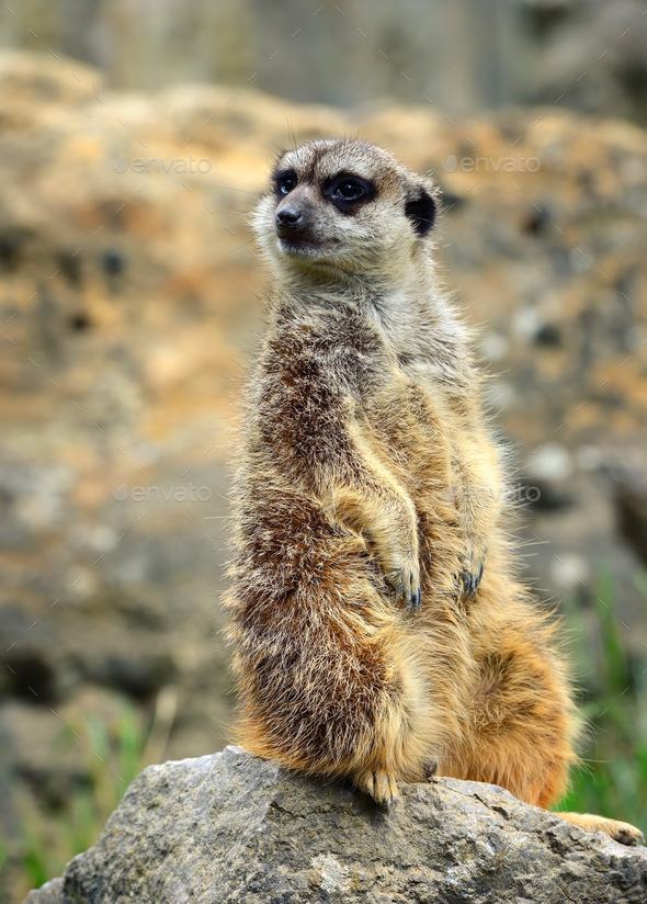 Meerkat family member (Suricata suricatta) on guard - Stock Photo - Images
