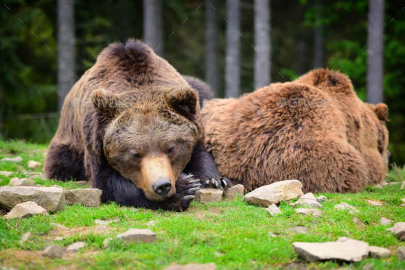 European brown bears in a forest landscape at summer. Big brown - Stock Photo - Images