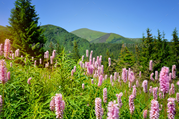 Common bistort (Persicaria bistorta) growing in the mountains - Stock Photo - Images