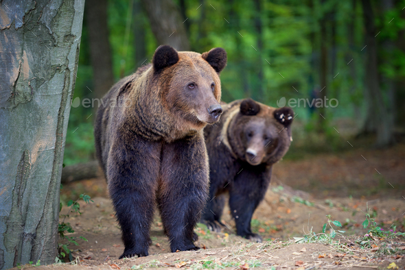 European brown bears in a forest landscape at autumn. Big brown - Stock Photo - Images