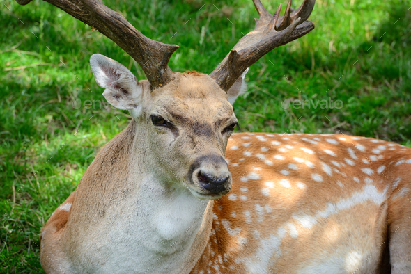 Male adult Sika Deer resting on the grass - Stock Photo - Images