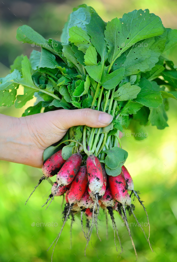 Fresh organic radishes with tops and green leaves in woman's han - Stock Photo - Images