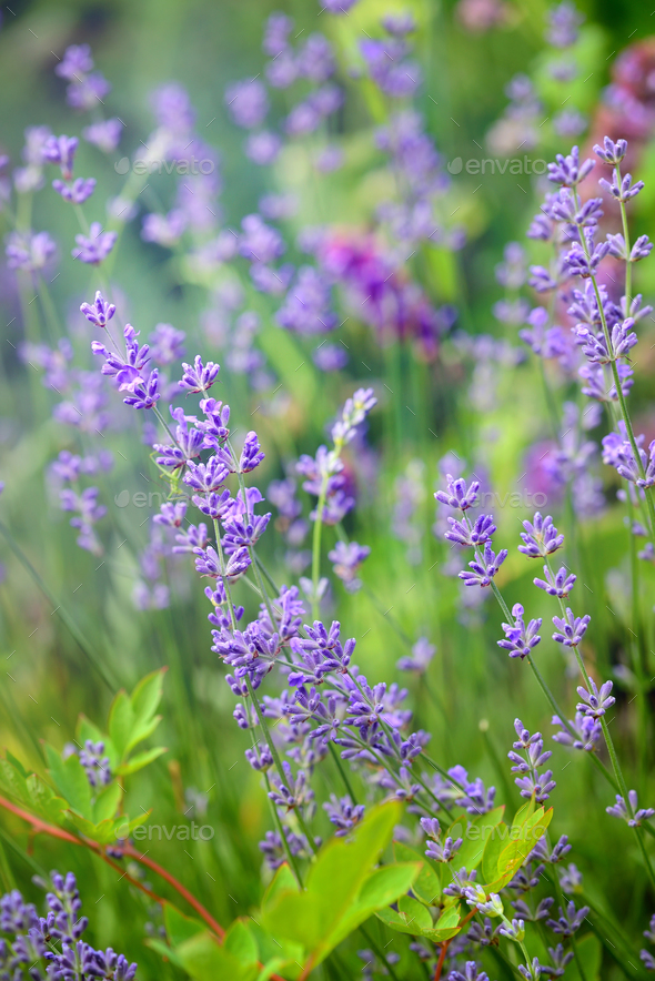 Lavender flower field, image for natural background, selective f - Stock Photo - Images