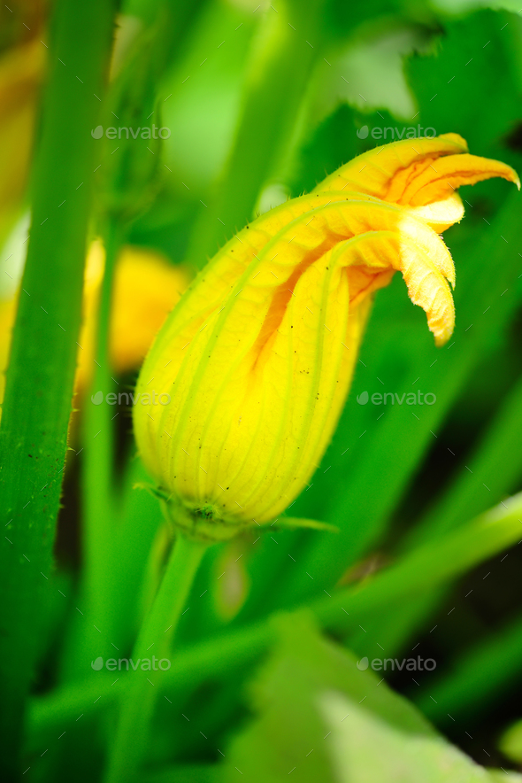 Yellow zucchini flower and green leaves - Stock Photo - Images