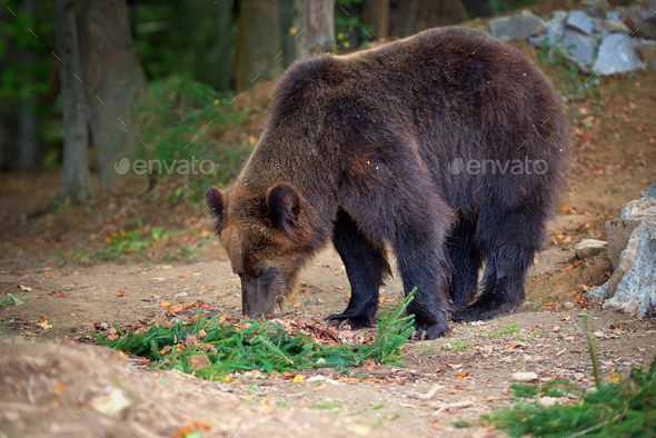 European brown bear in a forest landscape at autumn. Big brown b - Stock Photo - Images