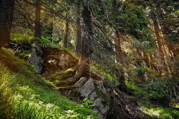 Forest landscape with sunbeams, mossy trees and stones - Stock Photo - Images
