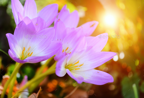 Nice dewy flowers in the autumn (Colchicum autumnale) - Stock Photo - Images