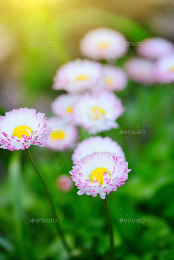Beautiful marguerite flowers, outdoors - Stock Photo - Images
