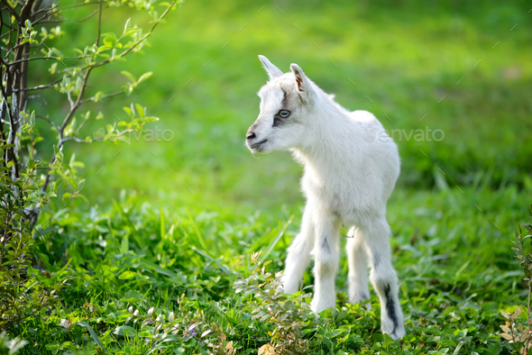 White baby goat standing on green lawn on a sunny day - Stock Photo - Images