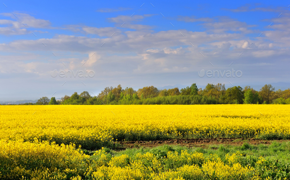 Field of rapeseed with beautiful clouds - plant for green energy - Stock Photo - Images