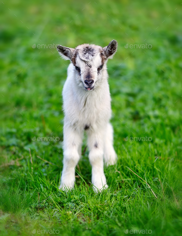 White baby goat standing on green lawn - Stock Photo - Images