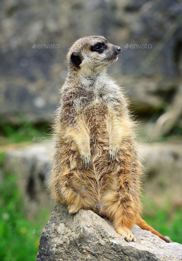 Meerkat family member (Suricata suricatta) on guard - Stock Photo - Images