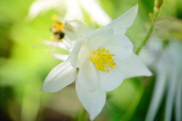 White Columbine Flower (Aquilegia) in sunlight - Stock Photo - Images