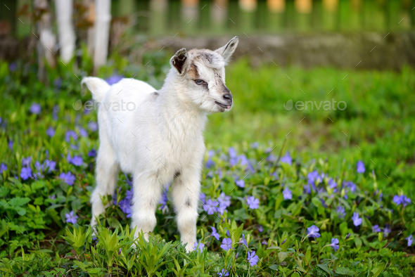 White baby goat standing on green lawn with flowers periwinkle ( - Stock Photo - Images