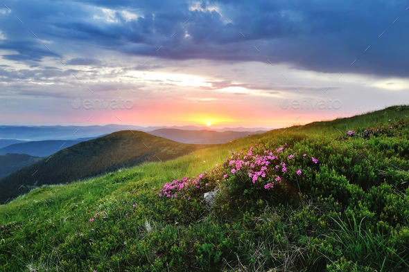 Magic pink rhododendron flowers on summer mountain. Sunrise - Stock Photo - Images