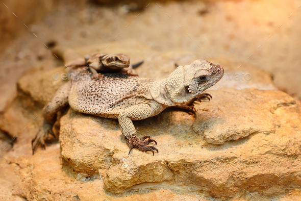 Common Chuckwalla (Sauromalus ater) sitting on stones - Stock Photo - Images