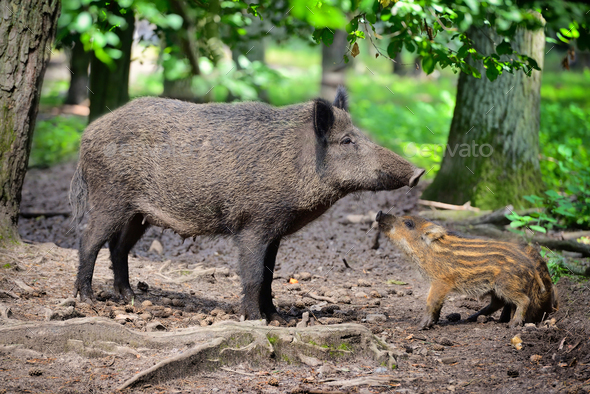 Wild boar family, mother with little striped piglet walking in t - Stock Photo - Images