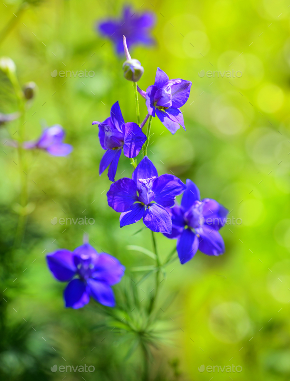 Beautiful purple Delphinium consolida (Consolida regalis) on a n - Stock Photo - Images