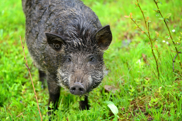 Wild boar in grass, before a forest - Stock Photo - Images