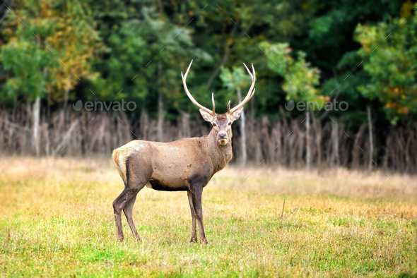 Majestic red deer in the nature habitat - Stock Photo - Images