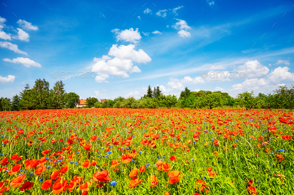 Poppy meadow with the blue sky - Stock Photo - Images
