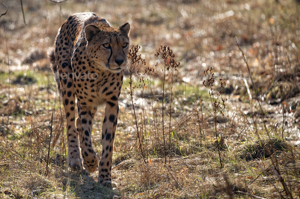 Cheetah in the wild  - Stock Photo - Images