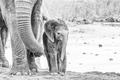 Tiny monochrome African elephant calf - PhotoDune Item for Sale