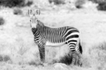 Monochrome Mountain zebra in the Mountain Zebra National Park - PhotoDune Item for Sale