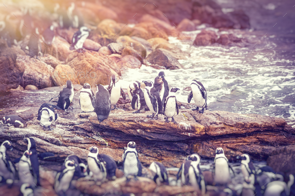 Big family of penguins - Stock Photo - Images